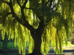 chinese willow tree